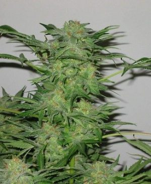 Buy K-Train Fem Online | K-Train Fem for sale | K-Train Fem