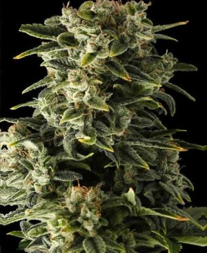Buy Haze Auto online | Haze Auto for sale | Haze Auto
