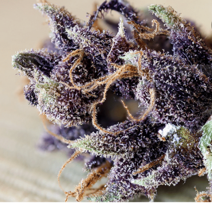 Nice thick buds with shades of purple. Great trichome coverage, with orange hairs to compliment