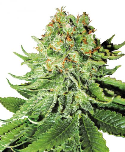 Buy Northern.L Seeds Online | Northern.L Seeds for sale | Northern.L.S