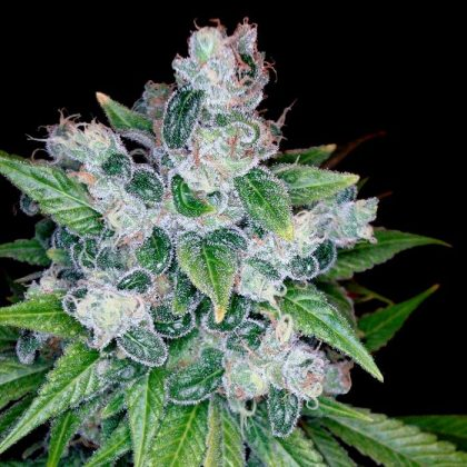 Look – DNA Genetics Kandy Kush has the earthy, musky Kush smell with accents of lemon, fuel and fruit to compliment.