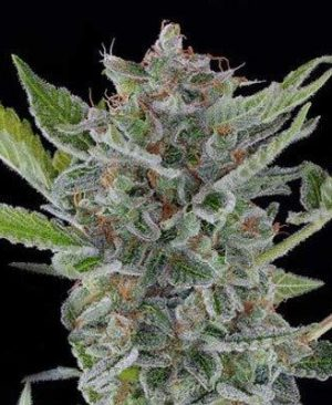 Buy White Widow Online | White Widow for sale | White Widow